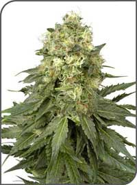 Graines White Widow